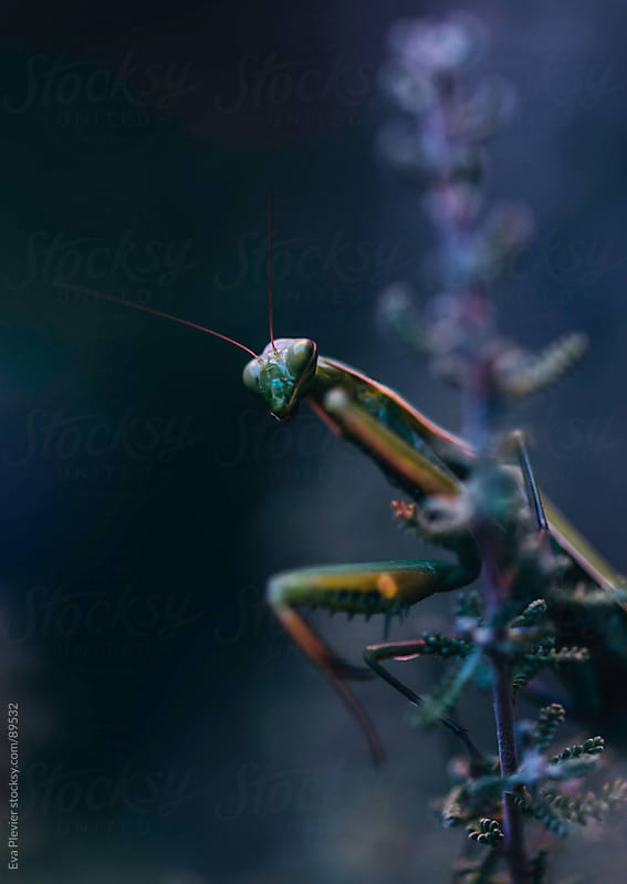 Praying Mantis in the garden by Eva Plevier for Stocksy United