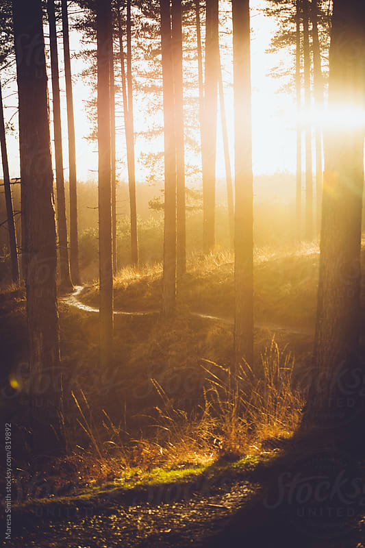 A winding path and pine trees in a forest at golden hour by Maresa Smith for Stocksy United