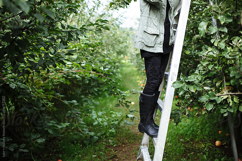 Girl Standing on Ladder Picking Apples by luke + mallory leasure for Stocksy United