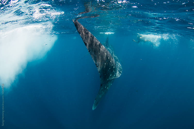 Diving with the largest fish Whale sharks in Caribbean sea by Song Heming for Stocksy United