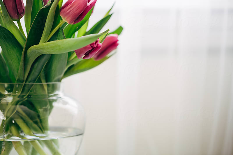 Fuschia colored tulips in clear glass vase by kelli kim for Stocksy United