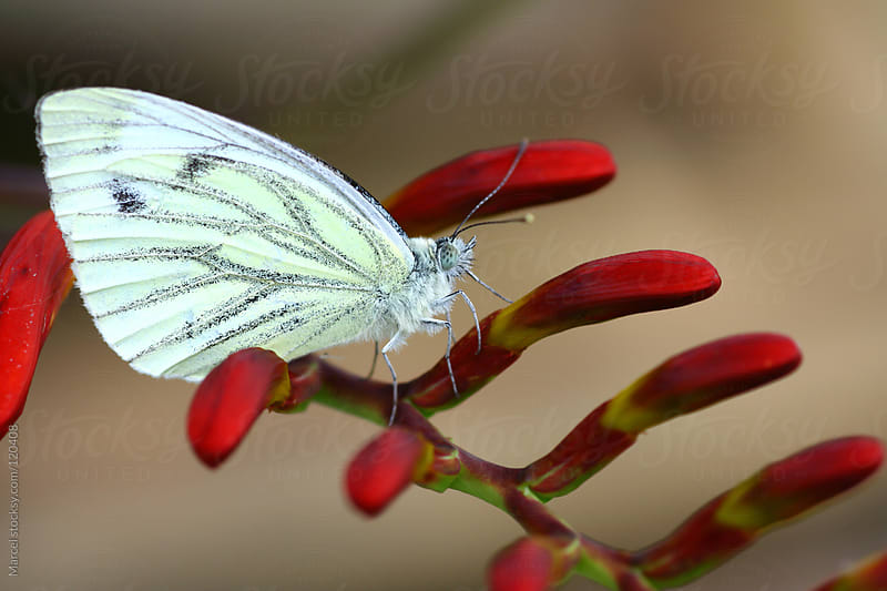 Pieris butterfly on crososmia flower by Marcel for Stocksy United