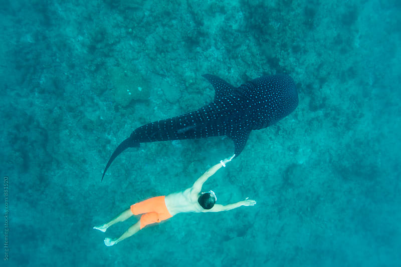 diving with whale shark by Song Heming for Stocksy United