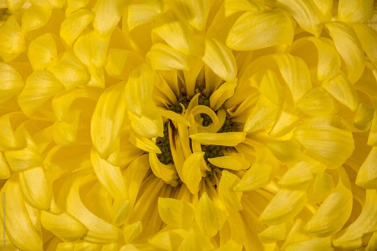 Yellow Flower Flower Chrysanthemum In Autumn Stocksy United