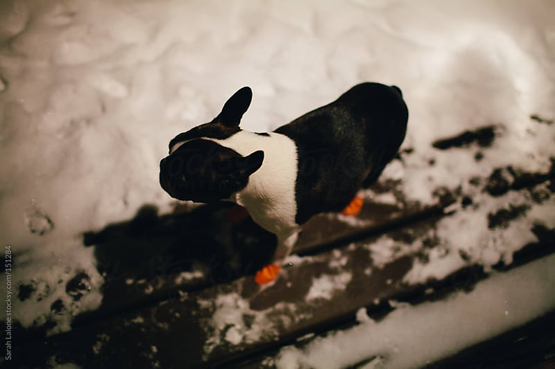 a boston terrier outside in the snow wearing rubber boots by Sarah Lalone for Stocksy United