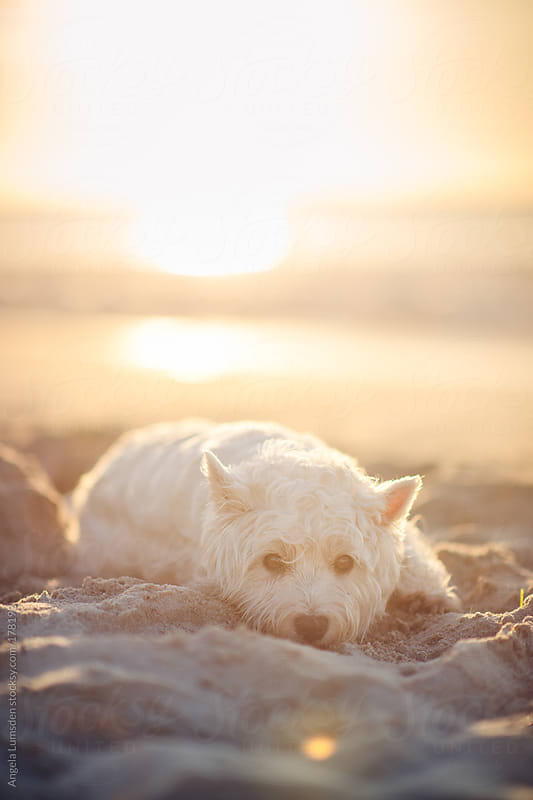 Small white dog resting in the sand at sunset by Angela Lumsden for Stocksy United