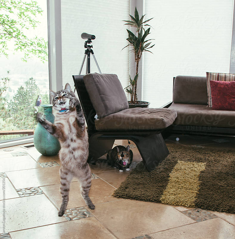 Silly siamese cat jumping in the air after her toy mouse with another cat watching by Carolyn Lagattuta for Stocksy United