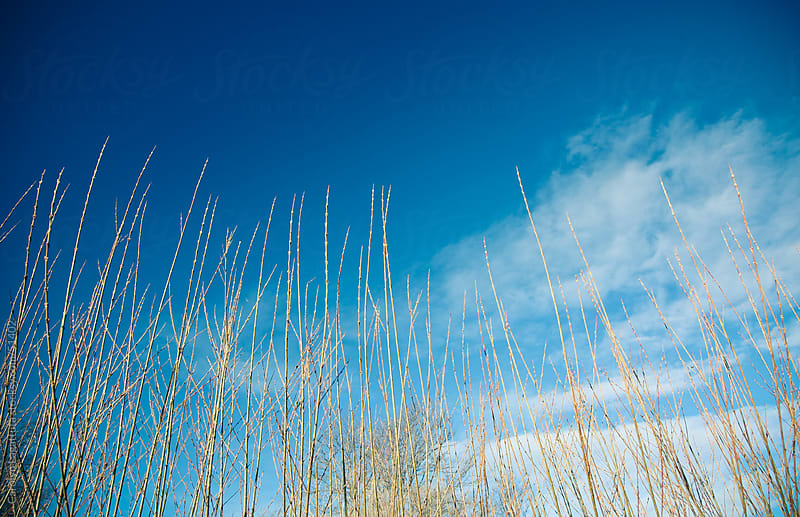 Tall grass and blue skies - looking upward by Carolyn Lagattuta for Stocksy United