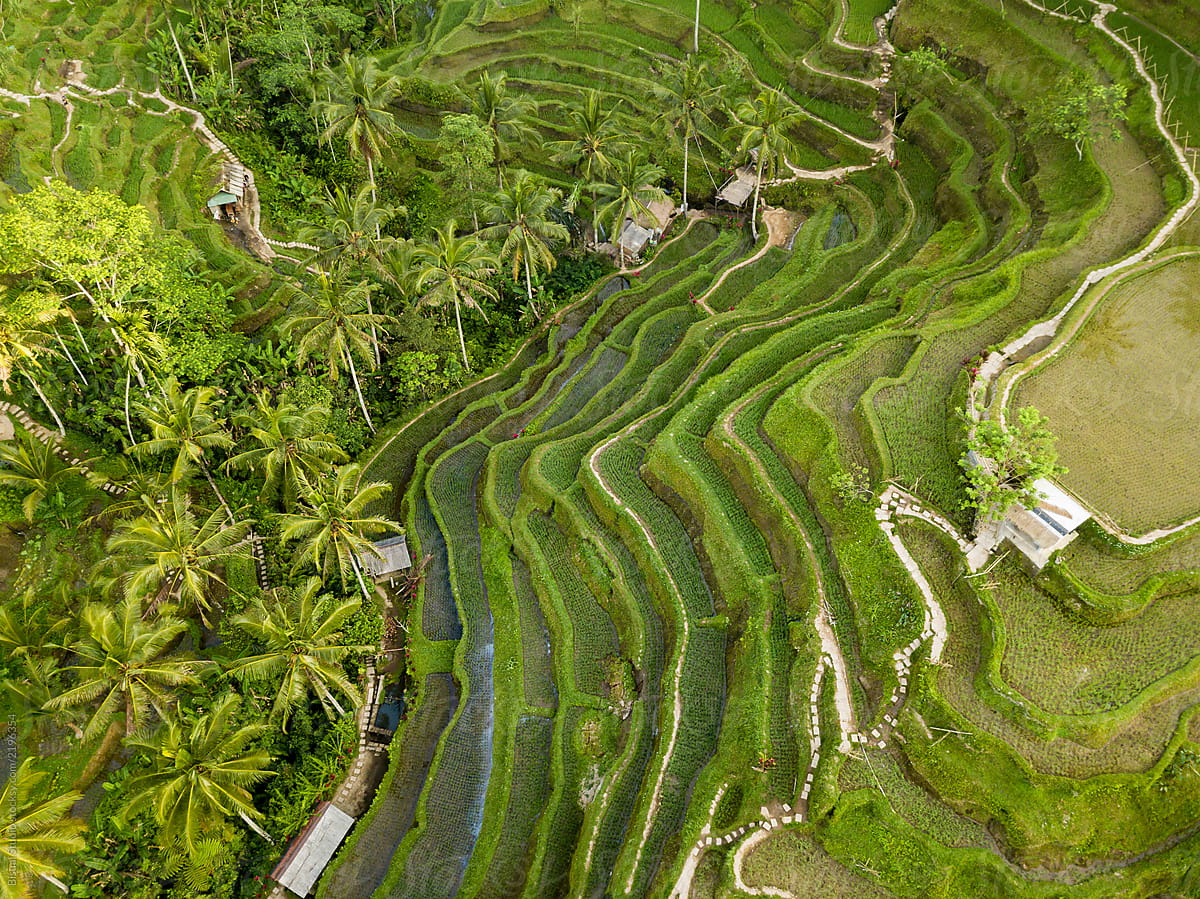 Stock Photo - Aerial View Of Rice Terraces In Tegallalang, Bali, Indonesia