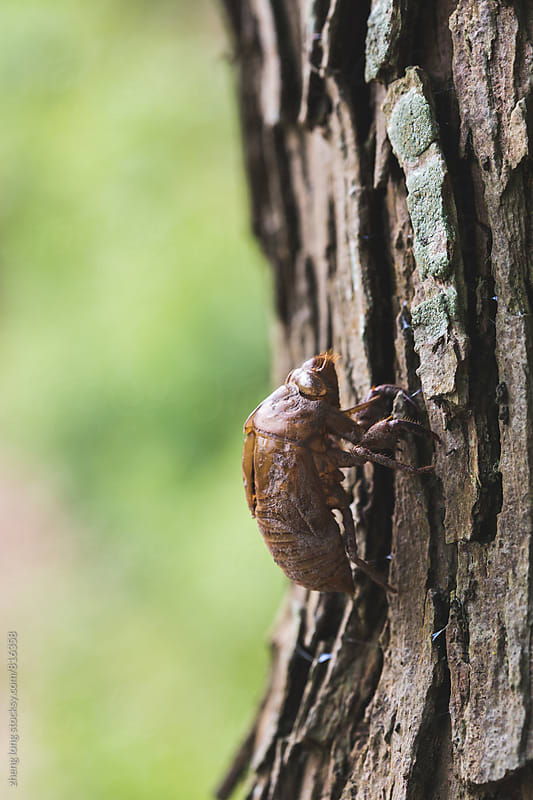 Cicada slough by zheng long for Stocksy United