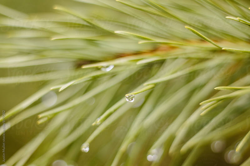 Long green pine needles with water drops by Justin Mullet for Stocksy United