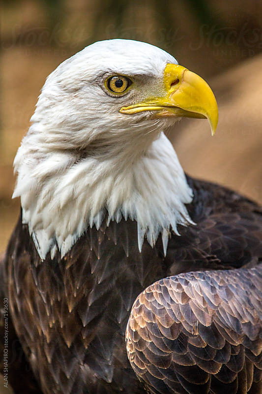 North American Bald Eagle by ALAN SHAPIRO for Stocksy United