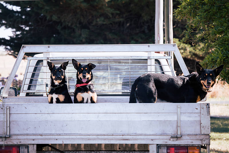 Cattle Dogs on their way to work by Rowena Naylor for Stocksy United
