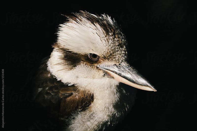 Kookaburra bird close up with dark background (genus Dacelo) Australia wildlife by Alejandro Moreno de Carlos for Stocksy United