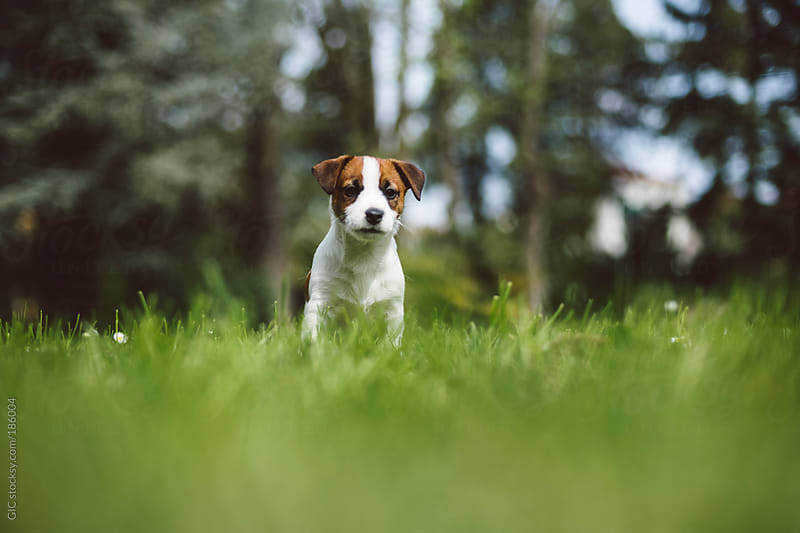 Cute Jack Russell puppy in the grass by GIC for Stocksy United