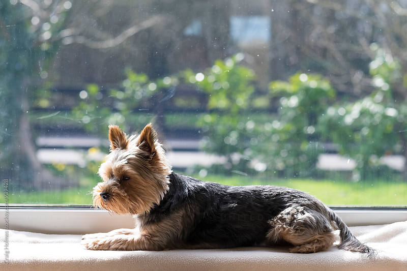 Yorkshire Terrier dog sat in a window. by Craig Holmes for Stocksy United