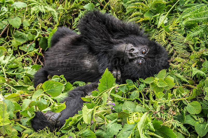 Gorilla in the jungle, National park, Rwanda, Africa by Jaydene Chapman for Stocksy United