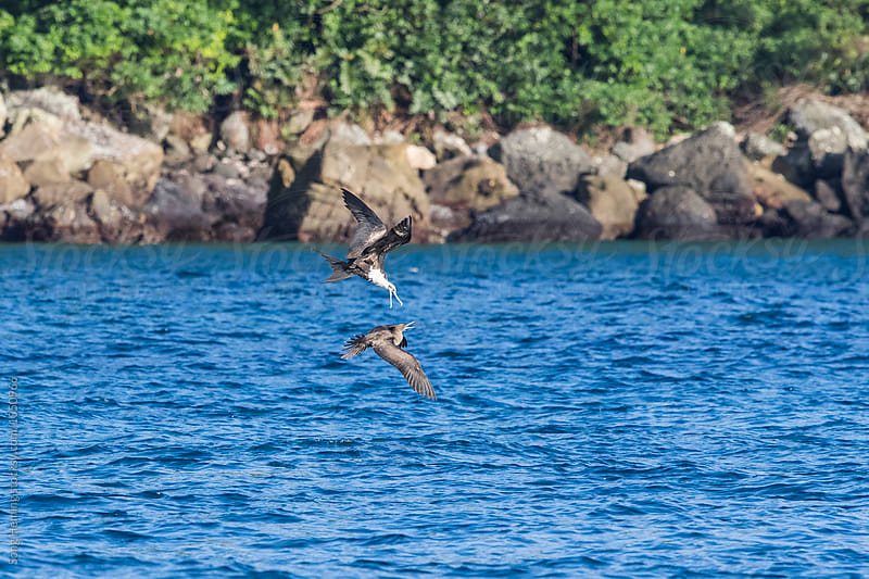 A Brown Pelian attacking a Brown Booby by Song Heming for Stocksy United