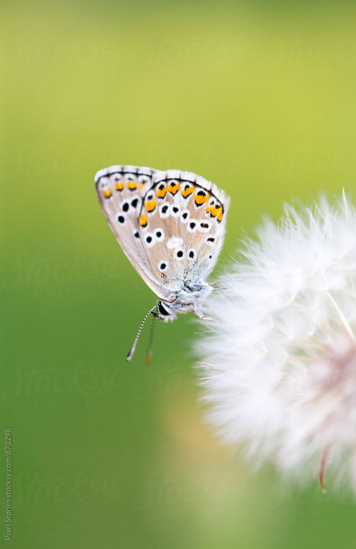 Butterfly resting on dandelion by Pixel Stories for Stocksy United