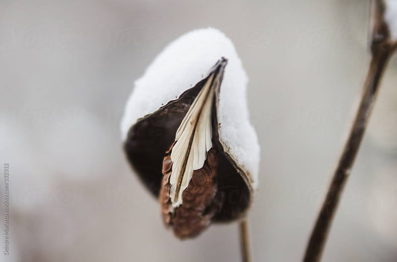 milkweed plant in winter with snow by Deirdre Malfatto for Stocksy United