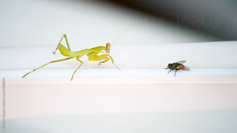 Praying Mantis hunting a fly by ACALU Studio for Stocksy United