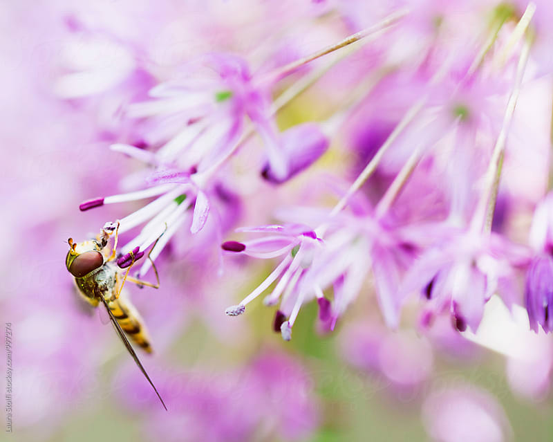 Hoverfly with tongue inside Allium flower, macro catch by Laura Stolfi for Stocksy United