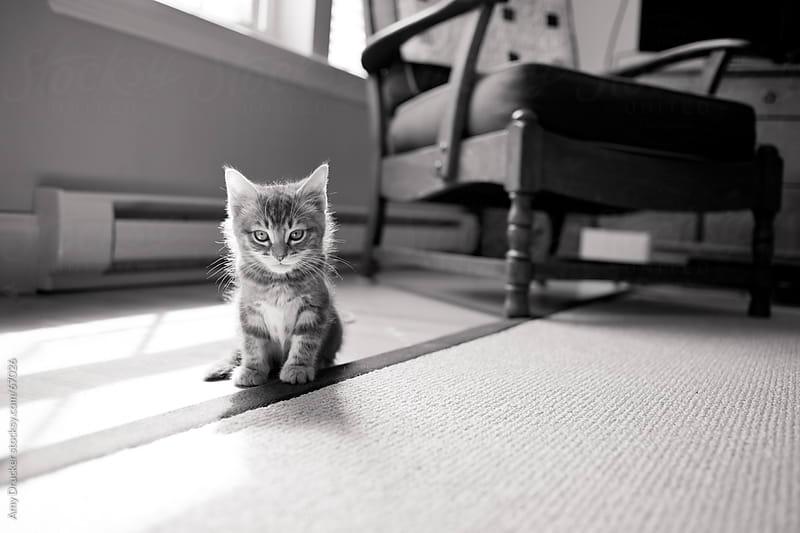 Serious Kitten by Amy Drucker for Stocksy United