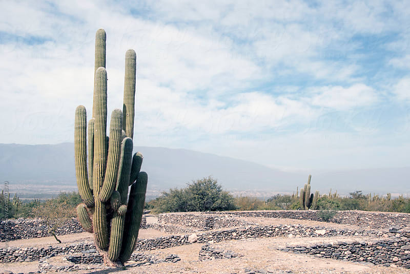 Large cactus. by Mike Marlowe for Stocksy United