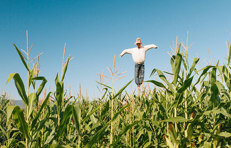 Scarecrow in a corn field on a sunny day by Mihael Blikshteyn for Stocksy United