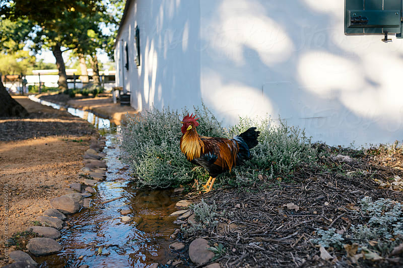 Hen walking on yard at farm by Trent Lanz for Stocksy United