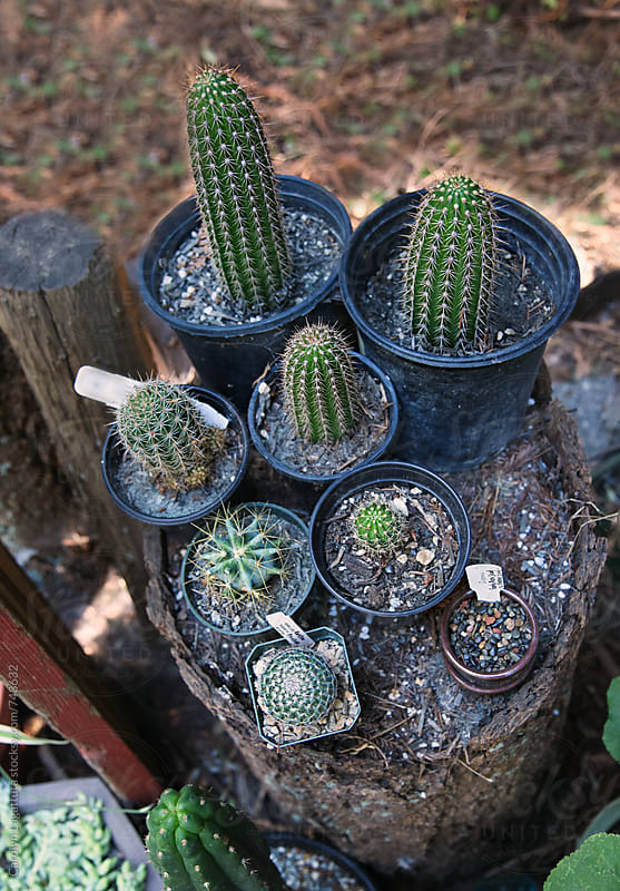 Array of cactus plants outside on the top of a tree trunk by Carolyn Lagattuta for Stocksy United