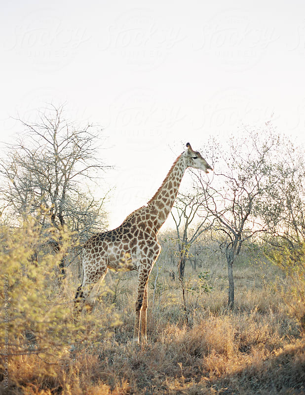 Giraffe on Safari in South Africa  by Vicki Grafton Photography for Stocksy United