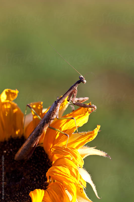 Praying Mantis on a Sunflower by Brandon Alms for Stocksy United