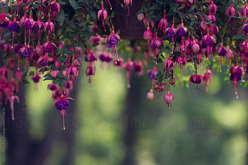 Purple and Pink Fuchsia flowers hanging from planter by Kerry Murphy for Stocksy United