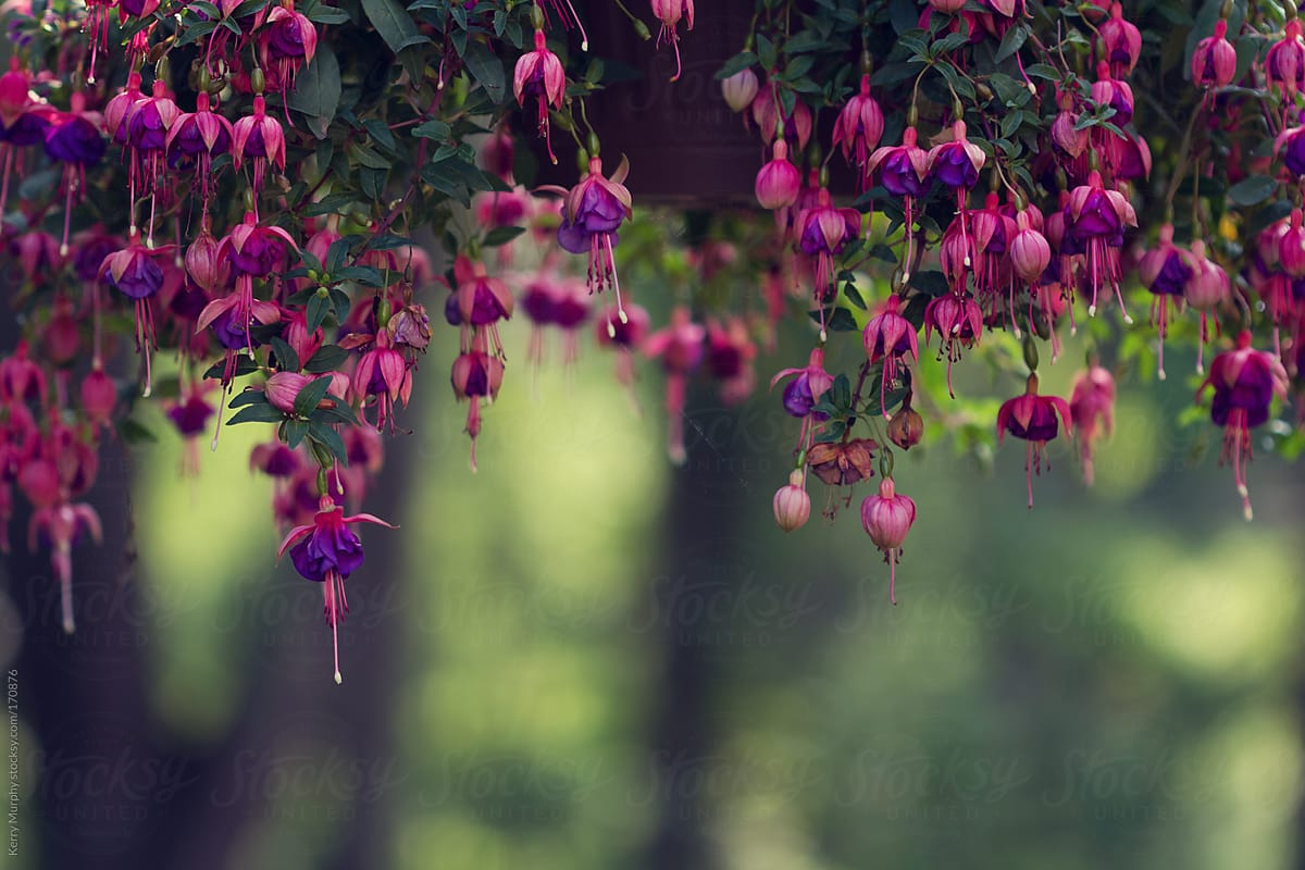 Purple And Pink Fuchsia Flowers Hanging From Planter Stocksy United