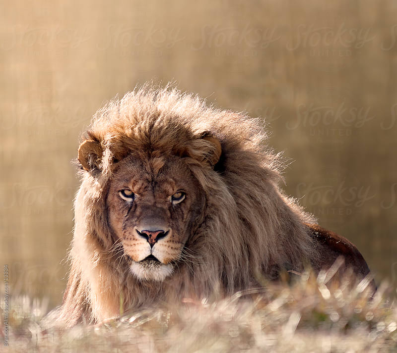 Male Lion Close Up in the Sunlight by Brandon Alms for Stocksy United