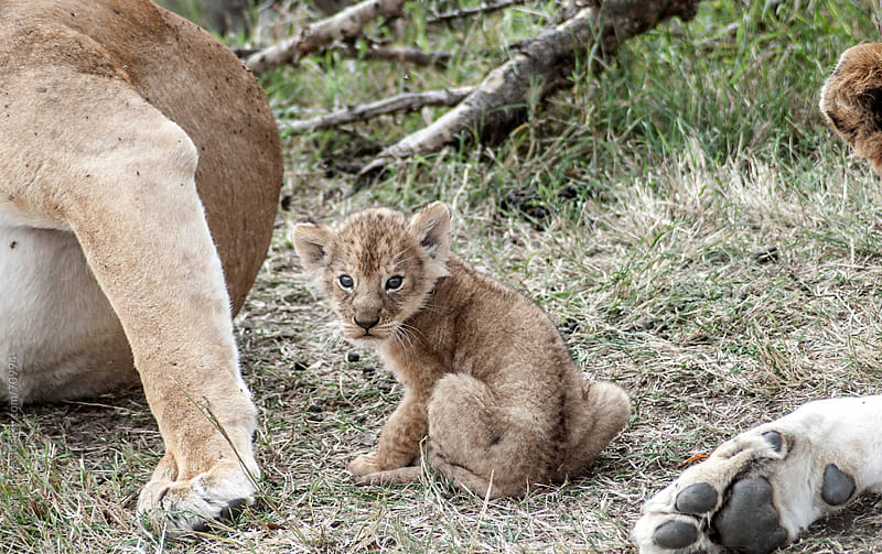 Lion cub looking at camera. by Mike Marlowe for Stocksy United