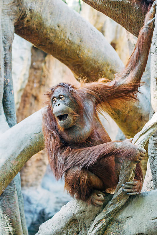 Orangutan grimacing with mouth by ACALU Studio for Stocksy United