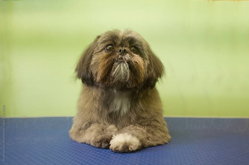 Portrait of a Shih Tzu by skye torossian for Stocksy United
