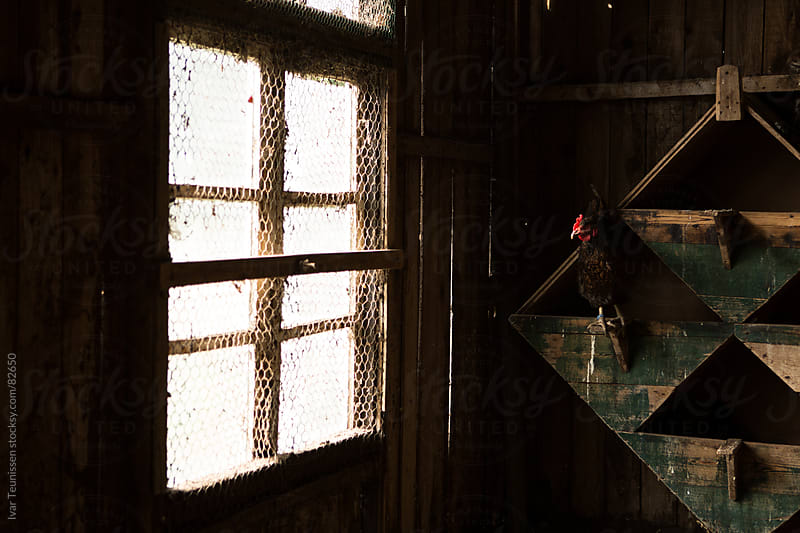 Chicken looking outside from her coop in old wooden shed. by Ivar Teunissen for Stocksy United