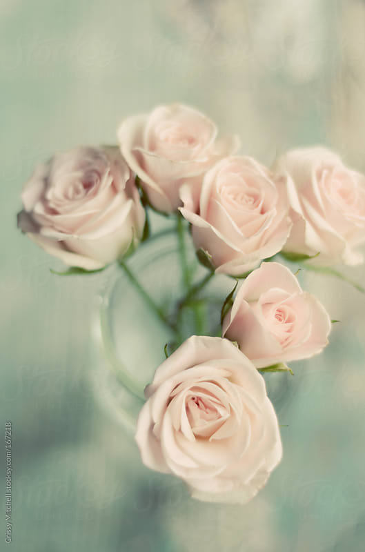 Pink roses by Crissy Mitchell for Stocksy United