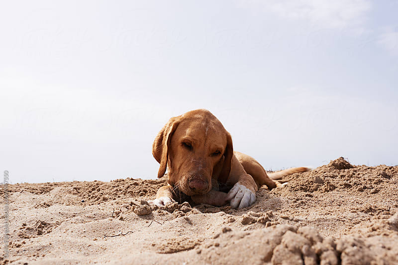 Dog gnawing something on beach by Guille Faingold for Stocksy United