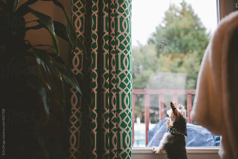 dog looking out window by Erin Drago for Stocksy United