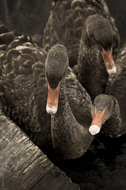 Swan 03 by Diane Durongpisitkul for Stocksy United