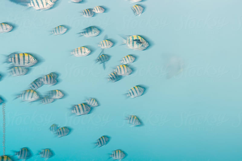 Sergeant Major Fish School Swimming Underwater by Jovana Milanko for Stocksy United