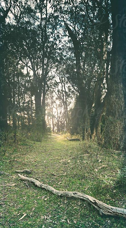 sun through the gum trees by Gillian Vann for Stocksy United