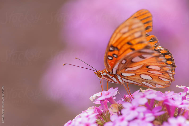 Gulf Fritillary butterfly feeding from a phlox flower by David Smart for Stocksy United