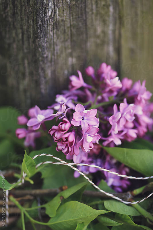 Lilacs Tied With String by ALICIA BOCK for Stocksy United