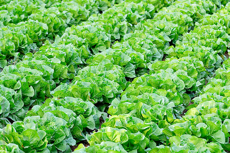 Lettuces at a local farm  by Bisual Studio for Stocksy United