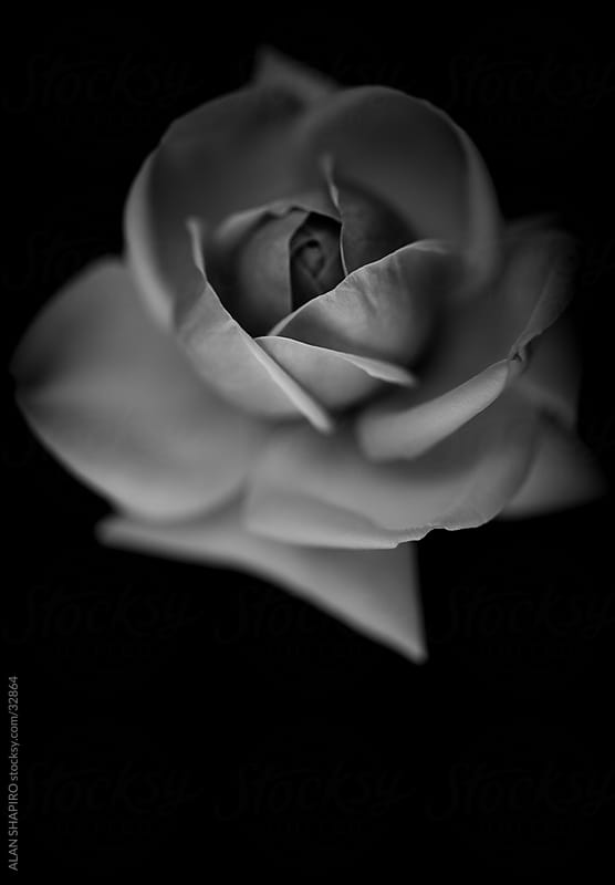 white rose by alan shapiro for Stocksy United